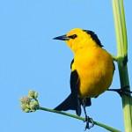 Veste-amarela / Xanthopsar flavus