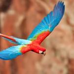 Arara-vermelha-grande (Ara chloropterus) / Buraco das Araras – Jardim