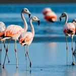Flamingo-chileno (Phoenicopterus chilensis)