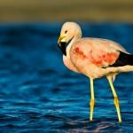 Flamingo-grande-dos-andes, (Phoenicoparrus andinus)