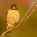 Gavião-carijó,  (Rupornis magnirostris)
