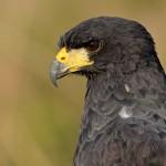 Gavião-preto,  (Urubitinga urubitinga)