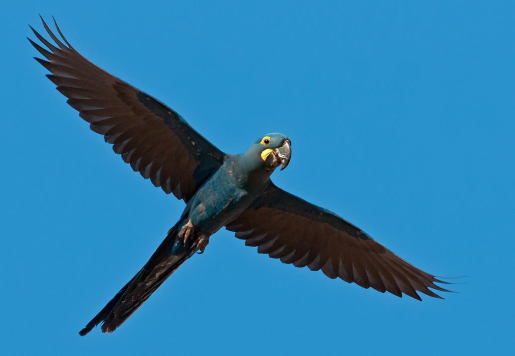 Arara-azul-lear /Nome Científico Anodorhynchus leari / Nome em Inglês: Lear's Macaw