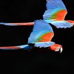 Arara-vermelha-grande (Ara chloropterus )