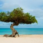 """Divi-divi (ou """"watapana"""", em papiamento).Arvore simbolo de Aruba"""