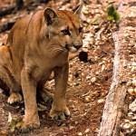 Suçuarana, puma, leão-baio (Puma concolor)