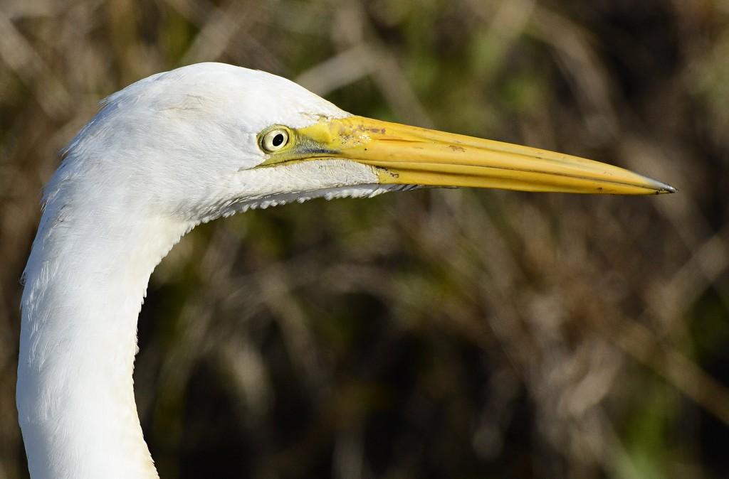 garça-branca-grande (Ardea alba) Nome em Inglês Great Egret