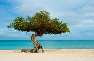 """Divi-divi (ou """"watapana"""", em papiamento). É a árvore símbolo de Aruba, uma ilha localizada ao sul do Caribe. A árvore destaca-se na paisagem do lugar e desde pequena é esculpida pelos ventos, começa a tombar e apontar para o lado sudeste da ilha.  Árvore retorcida pelo vento que parece um bonsai que resolveu crescer.  Eagle Beach - Aruba  Fotografias Renato Grimm www.bemtevibrasil.com.br"""